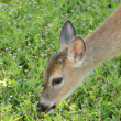 Key Deer in the Florida Keys foraging in a meadow — Stock Photo