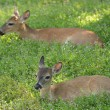 Deer  resting in a meadow  — Stock Photo