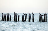 Pelicans and seagulls in ocean — Stock Photo