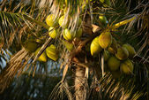 A group of coconuts growing on a palm tree — Stock Photo