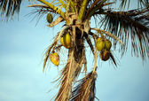 Coconuts in a palm tree — Stock Photo