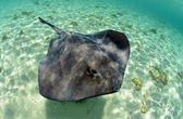 Stingray in its natural habitat — Stock Photo