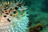 Close-up image of blowfish — Stock Photo