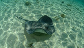 Stingray in the Bahamas in its natural habitat — Stock Photo