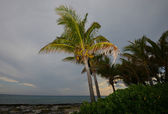 Palm tree with coconuts on a beach — Stock fotografie