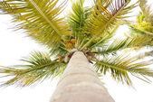 Looking up at a tall coconut palm tree — Stock Photo