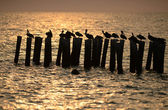 Pelicans perched in ocean — Stock Photo