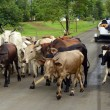 Herd of cows blocking road in panama — Stock Photo #26619333