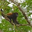 Spider monkey in tree — Stock Photo