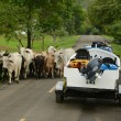 Cows blocking road for truck and boat in panama — Stock Photo #27406425