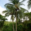 Palm tree with coconuts in tropical destination — Foto de Stock