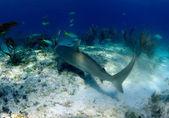 Reef shark — Stock Photo