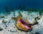 Conch shell underwater — Stock Photo