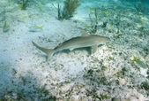 žralok perezův v jeho přirozeném prostředí — Stock fotografie