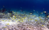 School of tropical fish — Photo