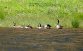 Flock of canada geese on a river in nature — Stock Photo