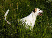 Yellow Labrador Retriever in grass hunting after a swim. — Stock Photo