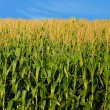 Stock Photo: Farm and country landscape of corn
