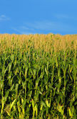 Farm and country landscape of corn — Stock Photo