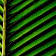 Stock Photo: Green background with lush tropical palm leaf