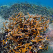 Stock Photo: Staghorn coral on reef in tropical location