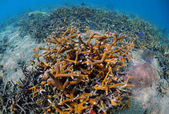 Staghorn coral on reef in tropical location — Stock Photo