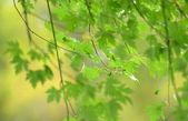 Maple tree in the spring — Stock Photo