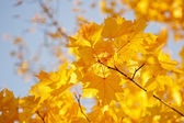 Yellow maple leaves against the sky — Stock Photo