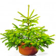 Little green Christmas tree in a red pot. — Stock Photo