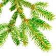 Part of a fir branch. — Stock Photo