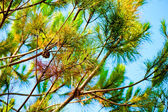 Pine branches against the blue sky — Stock Photo