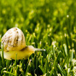 Yellow snail crawling on the grass - Stock Photo