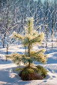 Small pine powder with snow. — Stok fotoğraf