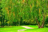 Birch tree op het grasveld in het park, aan het begin van oktober. — Stockfoto