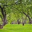 Old apple garden - green alley — Stock Photo