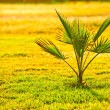 Palm tree on green grass — Stock Photo