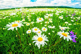 The meadow of daisies. — Stock Photo