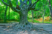 Old branchy evergreen beech forest. — Stock Photo