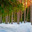 Snowy trail in the winter coniferous forest — Stock Photo