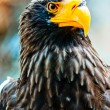 Portrait Steller (Pacific) Eagles in the Novosibirsk Zoo — Stock Photo