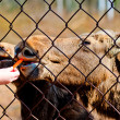 Female hand feeds young moose carrots through steel mesh — Stock Photo #25216023
