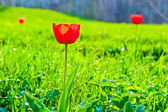 Red tulip on the background of lush green grass — Stok fotoğraf