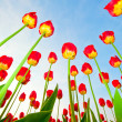 Red tulips on a background of blue sky — Stockfoto