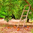 Harvest on orange citrus trees in the garden and a staircase at the tree — Stock Photo #29525137