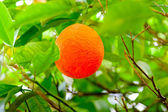 Ripe oranges hanging on a branch of an orange tree in the grove — Stock Photo