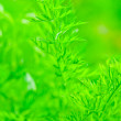 Juicy green leaf dill close-up on a background of green grass — Stock Photo