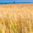 Field of ripe wheat ears ready for harvest — Stock Photo
