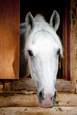 Head white racehorse looks out of the window stall — Stock Photo