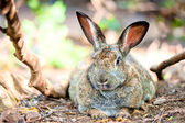 Fat gray rabbit is resting on the ground in the shade of trees — Stock Photo