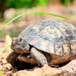Portrait of an adult turtle on land dry foliage — Stock Photo
